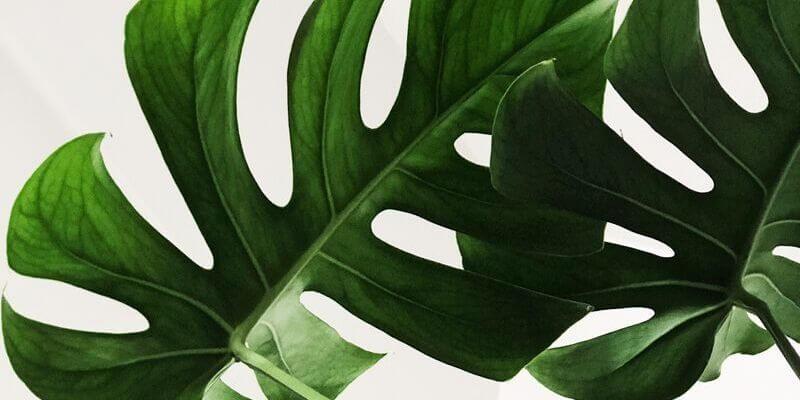 delle foglie di monstera su un fondo bianco