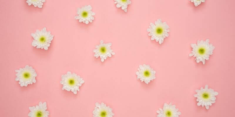 delle margherite su uno sfondo rosa